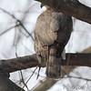 Cooper's Hawk <br /> City of Bridgeton <br /> St. Louis County, Missouri  <br /> 2014-01-24