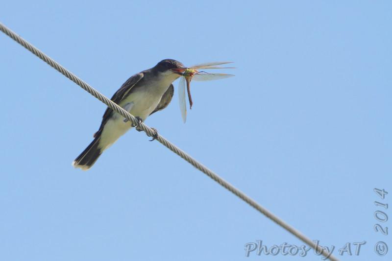Eastern Kingbird <br /> Wise Road <br /> Riverlands Migratory Bird Sanctuary