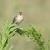 Grasshopper Sparrow <br /> Columbia Bottom Conservation Area