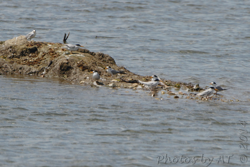 Least Terns <br /> Teal Pond <br /> Riverlands Migratory Bird Sanctuary
