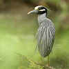 Yellow-crowned Night-Heron <br /> Greer Crossing Access on the Eleven Point River