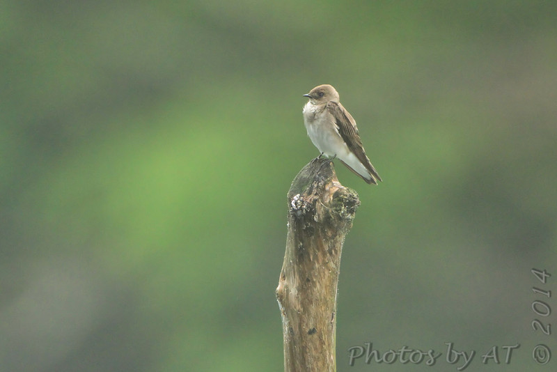 Northern Rough-winged Swallow <br /> Greer Crossing Access on the Eleven Point River