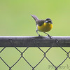Yellow-breasted Chat <br /> Falling Spring Cemetery