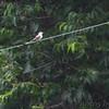 Scissor-tailed Flycatcher <br /> A&V Ranch entrance