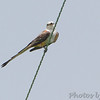 "Scissor-tailed Flycatcher <br /> Darst Bottom Road at ""T"""