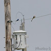 """Scissor-tailed Flycatcher <br /> Way up the wires from <br /> Darst Bottom Road at """"T"""""""
