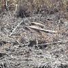 Cooper's Hawk <br /> Found sitting on ground next to Riverlands Way <br /> Riverlands Migratory Bird Sanctuary