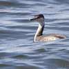 Horned Grebe  Creve Couer Lake