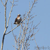 Red-tailed Hawk  Ellis Bay  Riverlands Migratory Bird Sanctuary