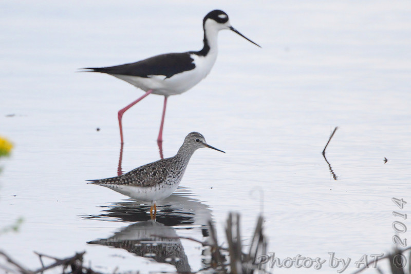 Lesser Yellowlegs<br /> Black-necked Stilt <br /> Ten Mile Pond