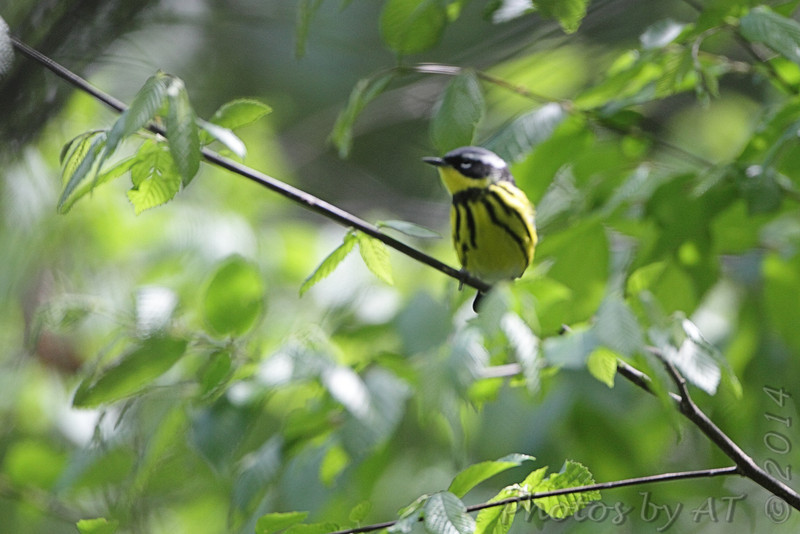 Magnolia Warbler <br /> Big Oak Tree State Park