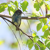 Indigo Bunting <br /> St. Francis River levee <br /> just south of HWY 84 west of Kennett <br /> Dunklin County