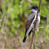 Eastern Kingbird <br /> St. Francis River levee <br /> just south of HWY 84 west of Kennett <br /> Dunklin County