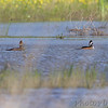 Hooded Merganser <br /> Dunklin County