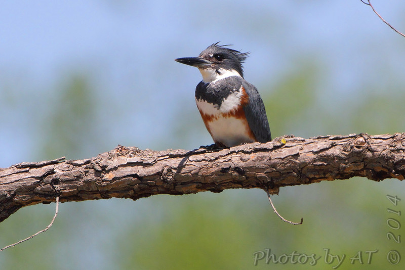 Belted Kingfisher <br /> St. Francis River levee <br /> just south of HWY 84 west of Kennett <br /> Dunklin County