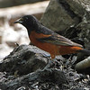 Orchard Oriole <br /> Tower Grove Park