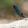 Indigo Bunting <br /> Tower Grove Park