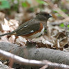 Eastern Towhee <br /> Tower Grove Park