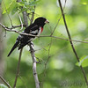 Rose-breasted Grosbeak <br /> Tower Grove Park