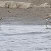 Wilson's Plover <br /> Ellis Bay<br /> Riverlands Migratory Bird Sanctuary