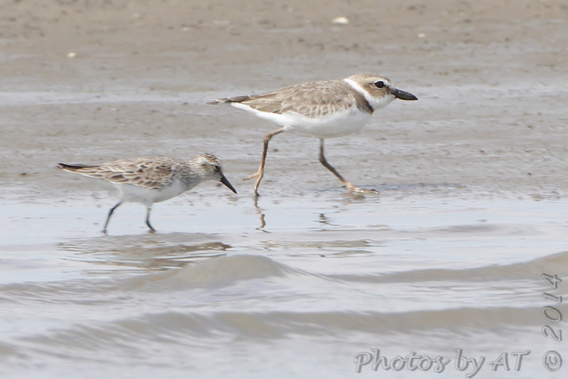 Lookie at those fleshy legs! <br /> Wilson's Plover <br /> and Semipalmated Sandpiper <br /> Ellis Bay<br /> Riverlands Migratory Bird Sanctuary