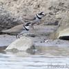 Semipalmated Plover <br /> Ellis Bay<br /> Riverlands Migratory Bird Sanctuary