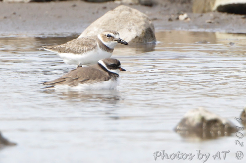 Wilson's Plover <br /> and Semipalmated Plover <br /> Ellis Bay<br /> Riverlands Migratory Bird Sanctuary