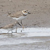 Wilson's Plover <br /> and Semipalmated Sandpiper <br /> Ellis Bay<br /> Riverlands Migratory Bird Sanctuary