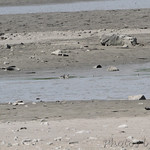 1st photo of Wilson's Plover from road