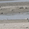Wilson's Plover in center with head sticking out from behind rock<br /> This is the first photo taken from Riverlands Way.  <br /> Blowing up the photo did not provide a 100% ID.  500mm + 1.4x = 700mm <br /> Scope views where just slightly better, could somewhat see big black bill.