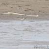 """Wilson's Plover  <br> Ellis Bay <br> (as seen from Riverlands Way)  <br> Riverlands Migratory Bird Sanctuary  <br> 2014-05-04 <br>  <br> <span style=""""color:red"""">*** Missouri's 2nd state record ***</span> <br> No. 333 on my Lifetime List of Birds  <br> Photographed in Missouri"""