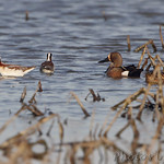 Wilson's Phalarope and Blue-winged Teal