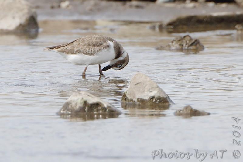 Wilson's Plover <br /> Ellis Bay <br /> Riverlands Migratory Bird Sanctuary
