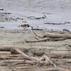 Ruddy Turnstone <br /> Lincoln Shields Area <br /> Riverlands Migratory Bird Sanctuary <br /> 5/08/14