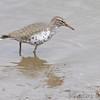 Spotted Sandpiper <br /> Ellis Bay <br /> Riverlands Migratory Bird Sanctuary <br /> 5/09/14
