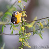 Baltimore Oriole <br /> Columbia Bottom Conservation Area <br /> 5/09/14
