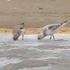 Sanderlings <br /> Ellis Bay <br /> Riverlands Migratory Bird Sanctuary <br /> 5/08/14