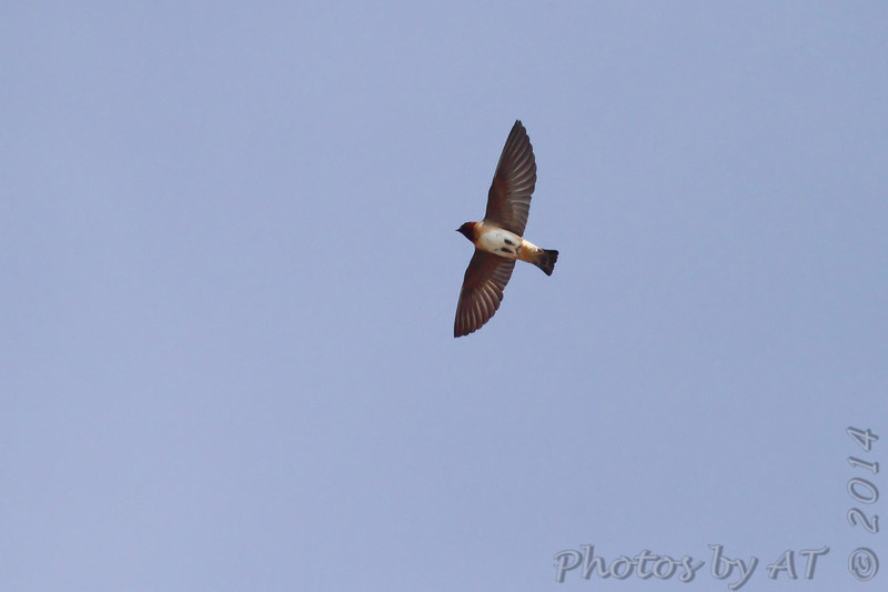 Cliff Swallow <br /> Ellis Bay <br /> Riverlands Migratory Bird Sanctuary <br /> 5/09/14