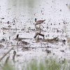 Stilt Sandpiper <br /> Columbia Bottom Conservation Area <br /> 5/09/14