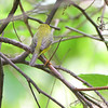 Wilson's Warbler <br />  Carondelet Park