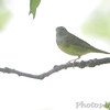 Connecticut Warbler <br /> Carondelet Park <br /> St. Louis, MO