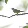 Connecticut Warbler <br /> Carondelet Park <br /> St. Louis, MO <br /> 2014-05-12<br /> <br /> No. 334 on my Lifetime List of Bird Species <br /> Photographed in Missouri