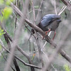 Green Heron  <br /> Squaw Creek National Wildlife Refuge <br /> 5/15/14