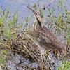 American Bittern <br /> Squaw Creek National Wildlife Refuge <br /> 5/15/14