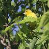 Orchard Oriole <br /> Squaw Creek National Wildlife Refuge