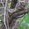 Blackpoll Warbler <br /> Squaw Creek National Wildlife Refuge
