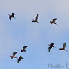 White-faced Ibis <br /> Squaw Creek National Wildlife Refuge