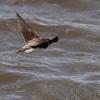Northern Rough-winged Swallow <br /> Squaw Creek National Wildlife Refuge