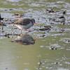 Spotted Sandpiper <br /> Squaw Creek National Wildlife Refuge