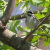 Blackpoll Warbler <br /> Squaw Creek National Wildlife Refuge <br /> 5/15/14